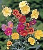 """Stiamo vendendo solo semi Articolo pacchetto quantità: 1 Helianthemum corona -mixed- """"rock rose"""" - 25+ semi groundcover Immagine dato solo di riferimento Il prezzo include dazi doganali"""