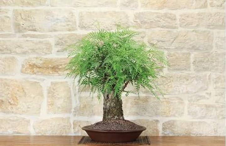 bonsai di falso pepe (1)  pollice verde bm-sm01