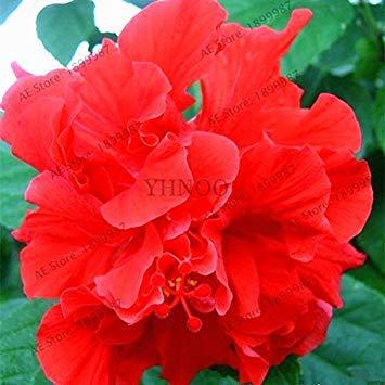 VISTARIC 10: Double Dahlia Seed Mini Mary Fleurs Graines Bonsai Plante en pot bricolage jardin odorant Fleur, croissance naturelle de haute qualité 50 Pcs 10
