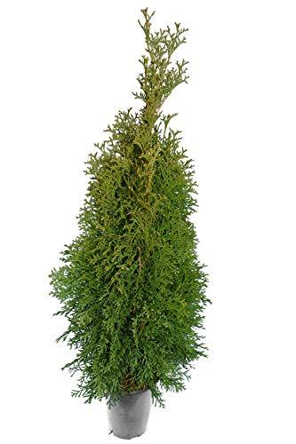 Heckenpflanze - Thuja occidentalis Smaragd - Topfware - verschiedene Größen (80-100cm - Topf 4 Ltr.)