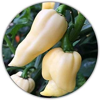 Bhut Jolokia Chili White / 20 Samen/Sehr scharf / 1 Mio Scoville/einfach und leicht anzubauen