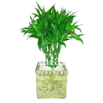 HONIC 50pcs Seltener Glücksbambus Bonsai Interessante Wählen Topf Bonsai Variety kompletter Dracaena Baum Pflanze Der Budding Rate 95%: 365016