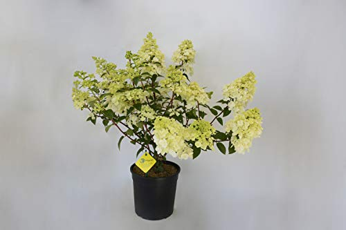 PLANTI' PIANTA VERA | Ortensia Little Lime | Piante ornamentali per esterno con ricca fioritura di fiori bianchi, piante vere da vaso per giardini e fioriere Diametro vaso 18 cm