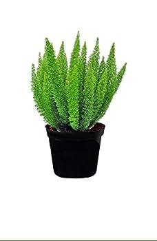 AMERICAN PLANT EXCHANGE Foxtail Fern Live Plant 6  Pot Indoor/Outdoor Air Purifier