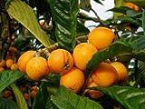 Golden Loquat Starter Plant Tree or Japanese Seeding Plump Tree
