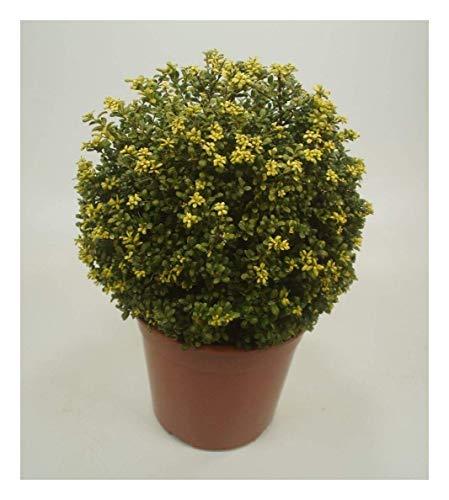 3 x Ilex crenata 'Convexa' Kugel 30-40 cm (Löffel Ilex) Buxbaum Buxus Buchs Ersatz ab 24,90 € pro Stück