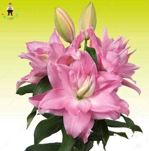 prime vista 100 stücke Lilie Pflanzen Seltene Rote Farbe Blume Bonsai Duftenden Orientalischen Bonsai Schöne Hausgarten Pflanzen: Dark Khaki
