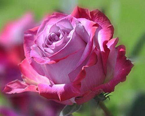 YHKTYV Una Flor Rosa 300 PCS Rompecabezas de Madera Aliviar Estrés Juego Cada Pieza es única Brain Challenge Regalo Personalizado para niños Amigos
