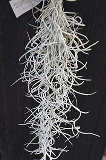 エアープランツ チランジア ウスネオイデス メキシカーナ 太葉品種 スモールサイズ