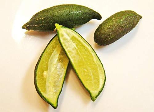Portal Cool Mixte: 20 Nain Australian Ice Lime Finger Exotiques Graines Caviar D'agrumes rares arbres fruitiers