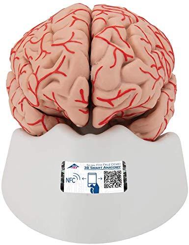 3B Scientific Cerebro de Lujo con Arterias, Desmontable en 9 Piezas - 3B Smart Anatomy