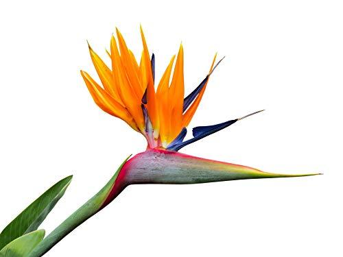 orangene Paradiesvogelblume -20 Samen - Strelitzia reginae