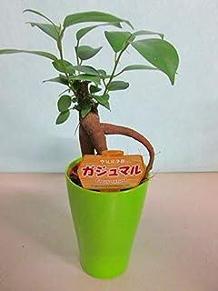 ガジュマル 2.5号ポット ミニ グリーン 観葉植物 鉢植え 苗 お中元 お歳暮 母の日 プレゼント ギフト 敬老 インテリア プランツ 贈り物 誕生日 精霊が宿る樹