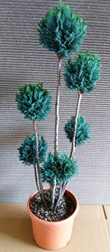 Gartenbonsai, Höhe: 100-110 cm, Bonsai, Chamaecyparis Ellwoodii,blau-grün, Zypresse, Kegelzypresse + Dünger