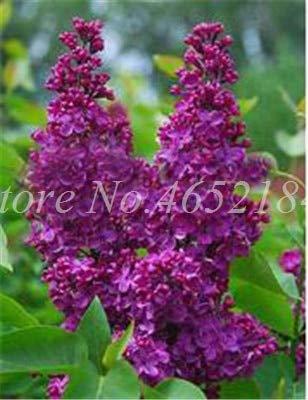 SONIRY 100 PC/Beutel Bonsai Lilac Bonsai Japanese Lilac (Extremely Fragrant) Nelke Blume Bonsai Flieder Bäume Außenanlage für Hausgarten: 6