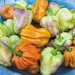 15 Samen von PEP317 Mustard Haba (Very Hot Pepper)