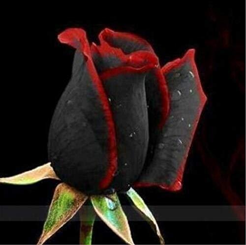 100pcs/bag Rare Rose Seeds Black Rose Flower with Red Edge Rare Rose Flowers Seeds for Garden Bonsai Planting