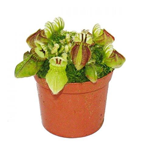 Exotenherz - Fleischfressende Pflanze - Zwergkrug - Cephalotus follicularis - 9cm Topf - Rarität