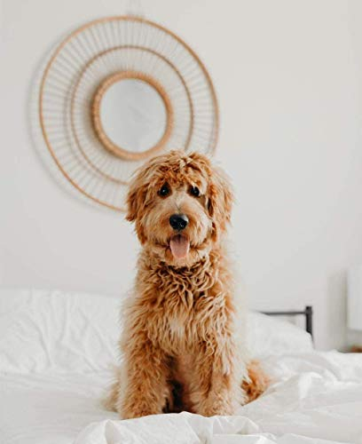 Irish Soft Haired Wheaten Terrier Paint Press Number Pack Canvas DIY Oil Painting Children Students Adult Beginners Brushes and Paint Acrylic40 * 50cm(Without Frame)