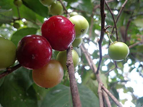 Portal Cool Samen Seltene 3 Samen Plum Café (Flacourtia Jangomas) Kaffee Plum Semi Samen