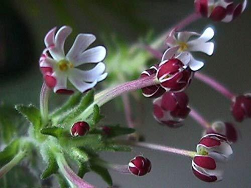 Minuit bonbons Nuit Phlox | Zaluzianskya capensis | Répétez Blooms | 15 graines