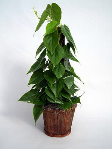 "Heart Leaf Philodendron - Easiest House Plant to Grow - 4"" Pot - Live Plant"