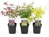 Mein schöner Garten Fächer-Ahorn 3er-Set - Ahornbäume Laubbäume Acer palmatum - Ahornbäumchen mit roten, gefächerten Blättern - Japanischer Ahorn mit rotem Laub - Liefergröße inklusive Topf ca. 55 cm