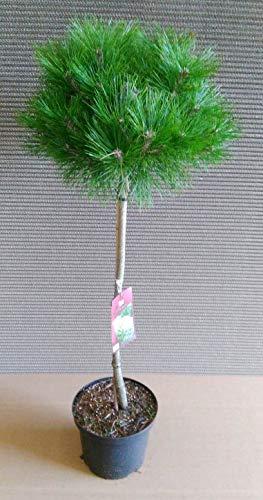 Pinus Low Glow, Kiefer-Stämmchen, Höhe: 100-110 cm + Dünger