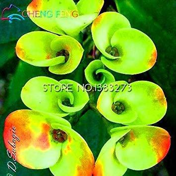 VISTARIC Orange 10 Pcs Canna Graines Beautiful Flower Seed Mix Indica Lily Jardin des plantes Ampoules Fleurs extérieur Bonsai Flores pot. Accueil cadeau