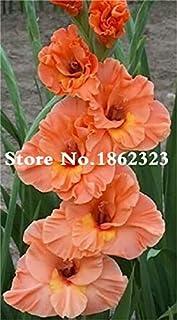 GEOPONICS Semillas: Multi-Color gladiolo de flores (No Gladiolo Bulbos), el 95% de germinación, bricolaje aeróbico en maceta, Rare gladiolo Bonsai Flor-120 PC: 9