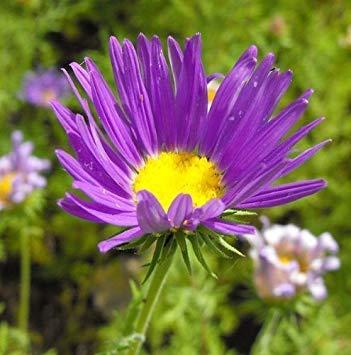 Vistaric Seedville 100 Purple lisse Purple Prairie Aster Aster Tanacetifolia Graines De Fleurs