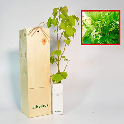 TILO - arbolito de pequeño tamaño en caja de madera - Ideal para regalo (1)