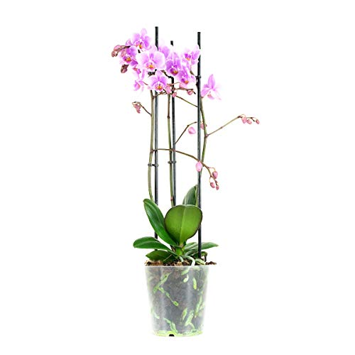 Orchidee von Botanicly – Schmetterlingsorchidee rosa – Höhe: 40 cm, 3 Triebe, pinke Blüten – Phalaenopsis multiflora Rosanna