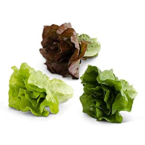 K&K Interiors 17063A Assorted Real Touch Romaine Lettuce (3 Styles), Purple, Lt. Green, Dk. Green