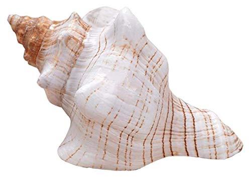 Conchas de caracoles de bobinado natural Caracoles de espiral largos Raro Océano Ornamento Espécimen Casa Pesca Tanque Marina Decoración DIY CRAFT Hecho A Mano Costo Festival Festival Partido Ornament