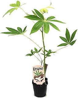 (株)赤塚植物園 ④ キャッサバ 苗 タピオカの原料 3号ポット苗 ※食用種で毒性がほとんどない
