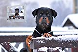 Fun Puzzles Intellectual Game for Adult- Rottweiler Dog Snow Collar Eyes -1000 Pieces Photo Wooden Jigsaw Puzzles