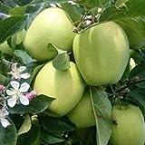 Peragashop - 1 planta de manzano Golden Val di Non Árbol de Frutto Matura a septiembre