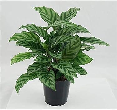 /Übertopf Basic wei/ß Calathea Freddy 30 cm Zimmerpflanze Korbmarante