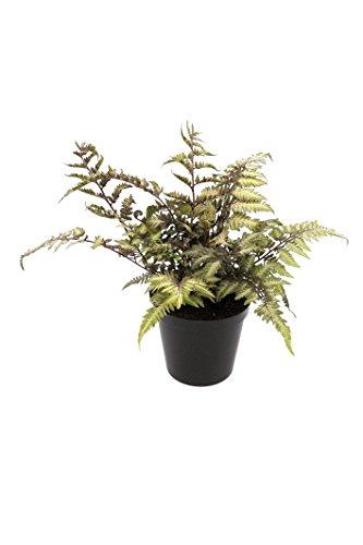 GardenPalms Japanischer Regenbogenfarn- Athyrium niponicum Metallicum- 10 Stück- Topf: 0.7 ltr, bodendecker 7-9 st. pro m2