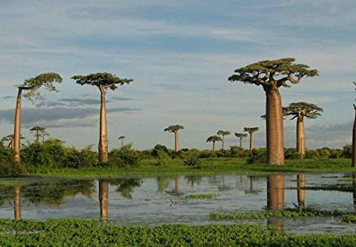 Portal Cool Baobab-Baum - Frische Samen, Indoor Zimmerpflanze oder Bonsai, seltener exotischer Baum