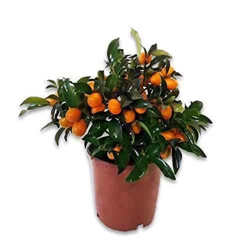 2 Kumquat (Pack) - maceta C17