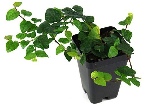 Ficus pumila 'Creeping Fig'