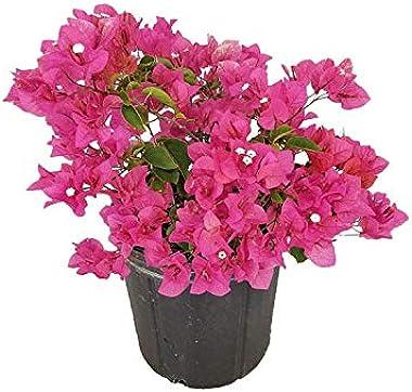 PlantVine Bougainvillea glabra 'Helen Johnson', Dwarf Pink Bougainvillea - Large - 8-10 Inch Pot (3 Gallon), Live Pla