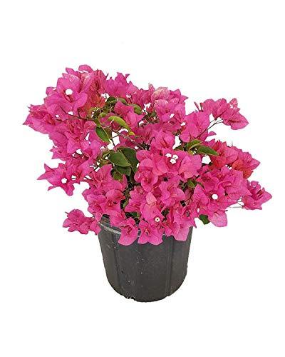 Best Climber plants -Bougainvillaea