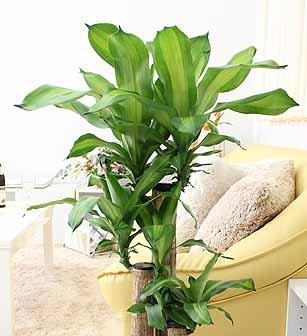 【ブルーミングスケープ】贈り物に喜ばれる観葉植物幸福の木ホワイト陶器鉢7号Zタイプ飾りやすい中型サイズ