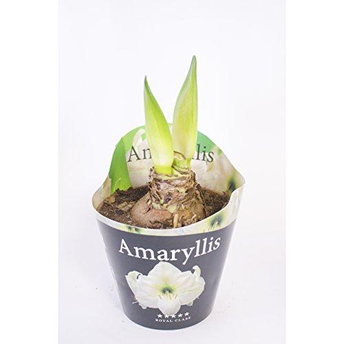 Inter Flower - 1 XL Amaryllis im 12cm Topf Weiß, Zimmerpflanze