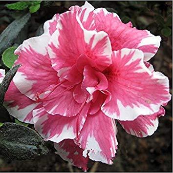 Fash Lady 100% de véritables 2 pcs graines de rose du désert, graines d'adénium bonsaï succulentes fleurs ornementales Plante pour jardin et balcon couleurs du mélange 10