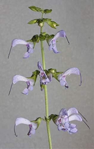 Salvia miltiorrhiza – salvia roja – 10 semillas frescas, fruta, flor, árbol, vid, arbusto, semillas