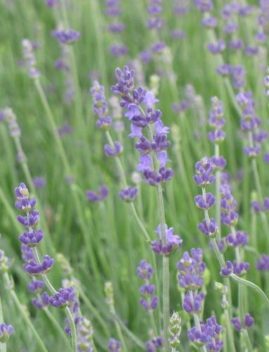 Lavandula ANG. 'Munstead Strain' English Lavender 4 Pack Live Plant